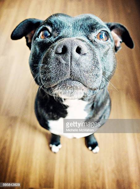 staffordshire bull terrier - staffordshire bull terrier stock pictures, royalty-free photos & images