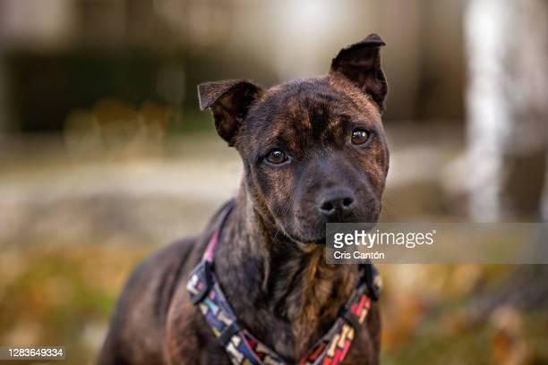 staffordshire bull terrier puppy looking at camera - cris cantón photography fotografías e imágenes de stock