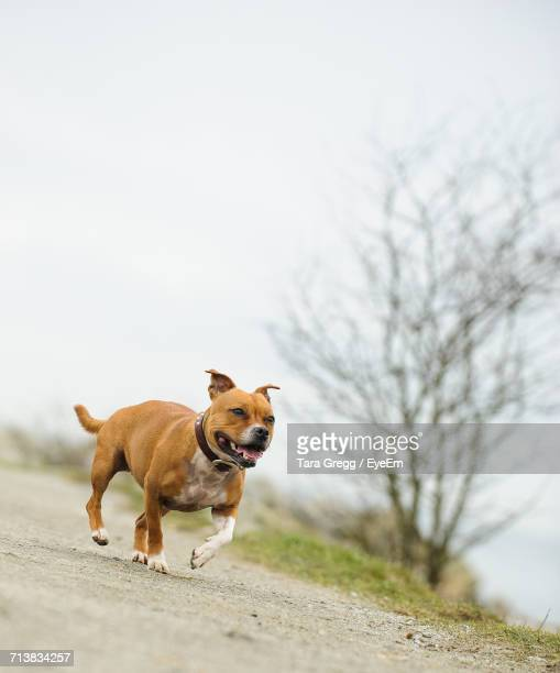 staffordshire bull terrier running on field against sky - staffordshire bull terrier stock pictures, royalty-free photos & images