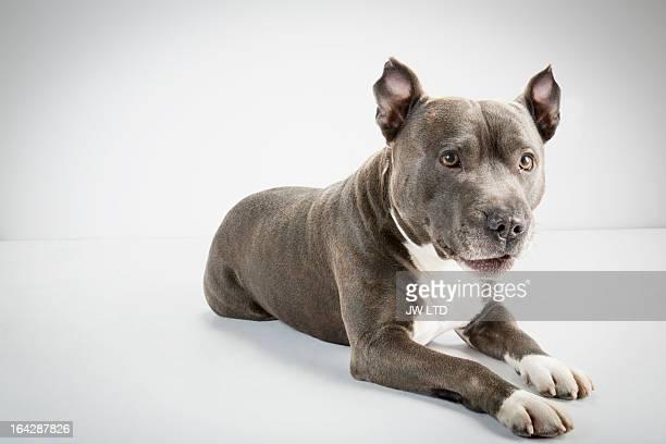 staffordshire bull terrier, studio - pit bull photos et images de collection