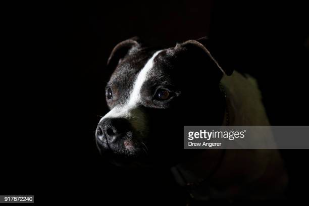 Staffordshire Bull Terrier waits to compete at the 142nd Westminster Kennel Club Dog Show at The Piers on February 13 2018 in New York City The show...