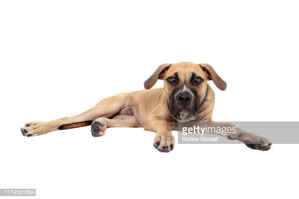 staffordshire bull terrier x bullmastiff puppy looking at the camera on a white background - staffordshire bull terrier stock pictures, royalty-free photos & images