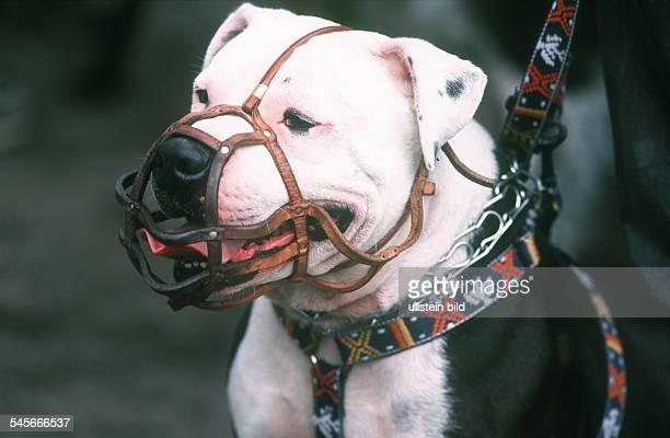 Staffordshire Bullterrier mit Maulkorb 2000