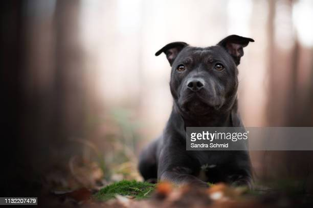 staffordshire bullterrier portrait - staffordshire bull terrier stock pictures, royalty-free photos & images