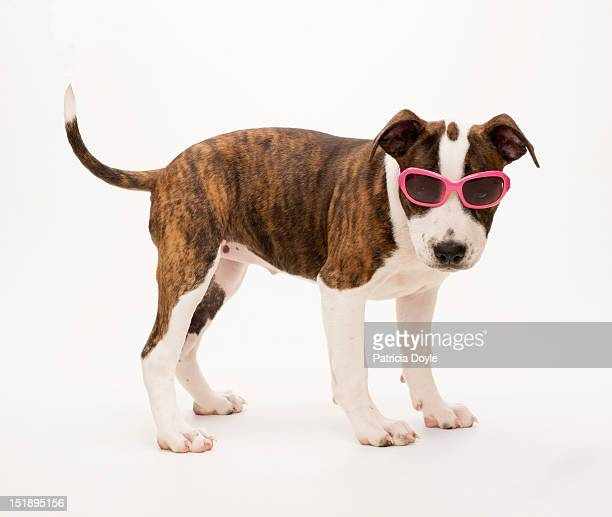 Staffordshire Terrier pup wearing pink sunglasses