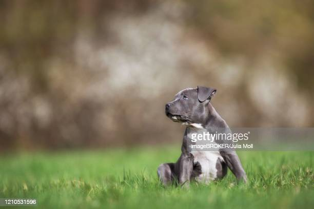 staffordshire terrier puppy sitting in meadow, austria - bull terrier stock pictures, royalty-free photos & images