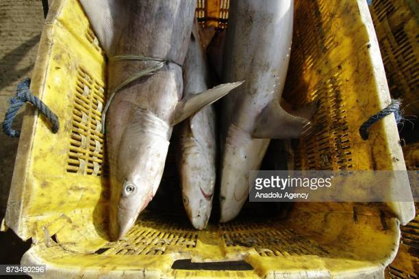 Staffs dispatch the sharks fished from Indonesian waters to send them Muara Angke fish market inJakarta November 13 2017 Although most species of...