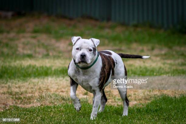 staffy on guard - staffordshire bull terrier stock pictures, royalty-free photos & images