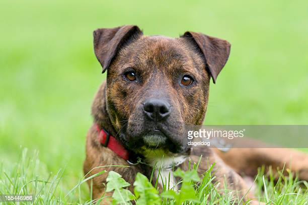 staffy - staffordshire bull terrier stock pictures, royalty-free photos & images