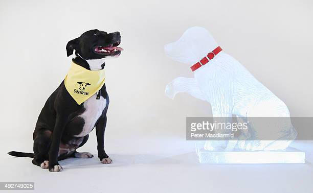 Staffy Rico looks at an ice sculpture created bt Dogs Trust to warn of the dangers of leaving a dog in a hot car on April 9 2014 in London England...