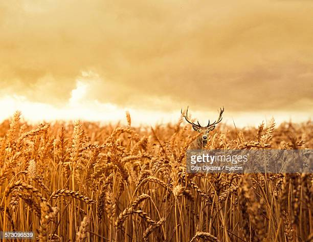 Stag Amidst Wheat Field Against Cloudy Sky During Sunset