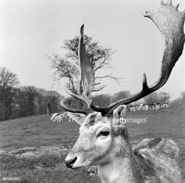 Stag at Knole Park in Sevenoaks Kent 30th March 1954