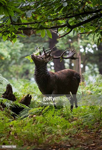 A stag at Richmond Park on September 22 2016 in London England Today marks the first day of autumn also known as the autumn equinox where night and...