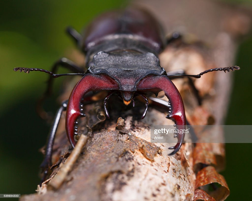 Stag beetle en face : Stock Photo