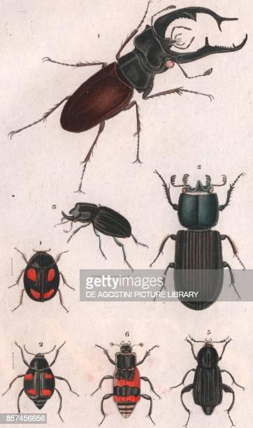 1 Stag beetle male 2 Passalus interruptus 3 Synodendrum cylindricum 1 Sphaeridium scarabaeoides 2 Scaphidium quadrimaculatum 5 Pelta littorale 6...