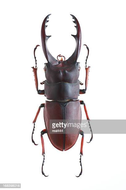 stag beetle(prosopocoilus astacoides elaphus) - horned beetle stock pictures, royalty-free photos & images