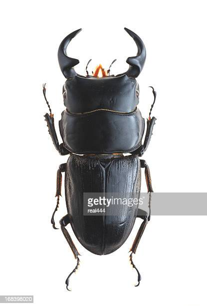 stag beetle(dorcus bucephalus) - horned beetle stock pictures, royalty-free photos & images