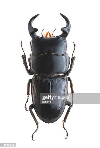 Stag Beetle(Dorcus bucephalus)