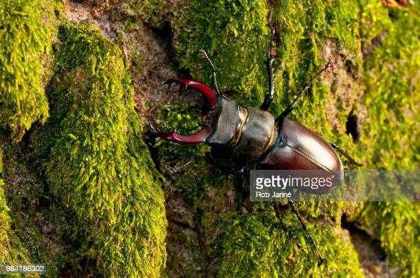 stag beetle - beetles with pincers stock pictures, royalty-free photos & images