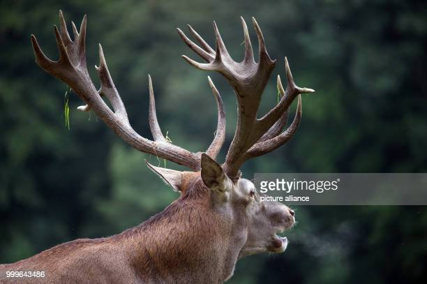 A stag bellows on the grounds of Gut Leidenhausen in Cologne Germany 02 September 2017 Mating season for these animals begins around mid September...