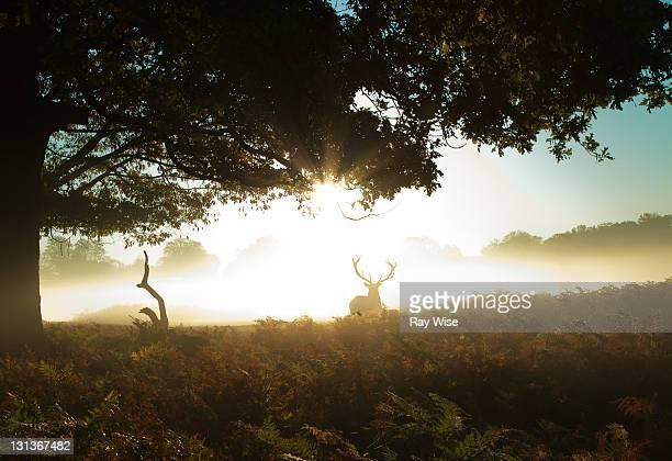 stag deer in morning mist at richmond park - リッチモンド公園 ストックフォトと画像