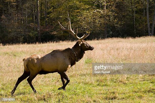 a stag deer - wapiti foto e immagini stock