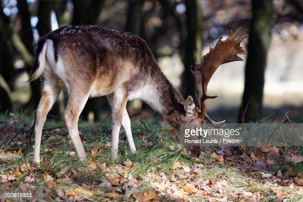 Stag Grazing In Forest