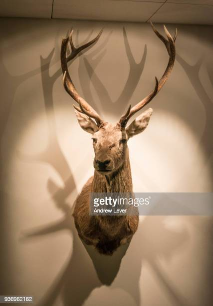 stag head on wall. - sport involving animals stock pictures, royalty-free photos & images