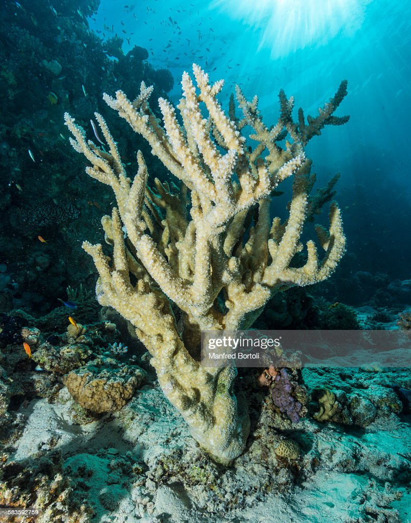 Stag Horn Coral with sun rays : Stock Photo