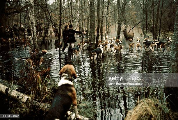 A stag hunt in Compiegne in northern France circa 1970