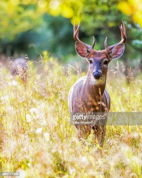 a stag in a field. - white tail deer stock photos and pictures
