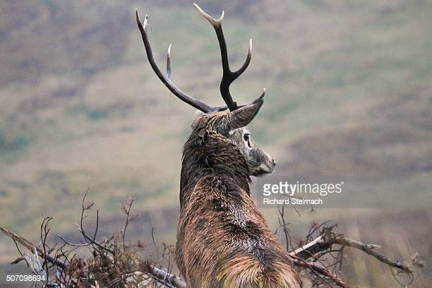 Stag in Autumn, Scotland, overlooking landscape