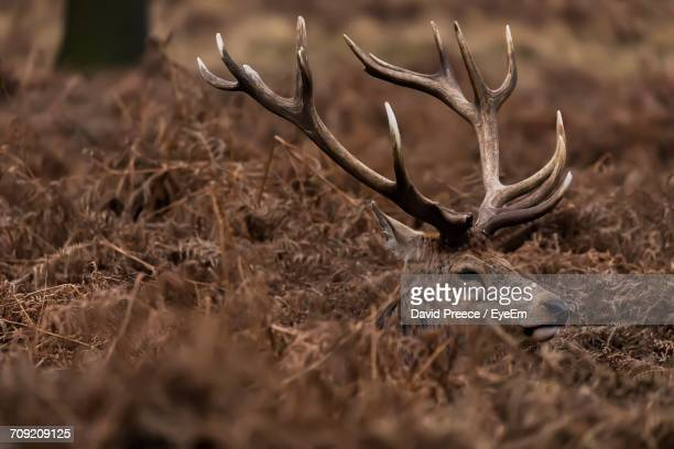 Stag In Field