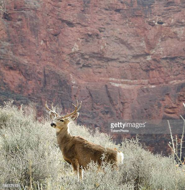 stag in the canyon - mule deer stock photos and pictures