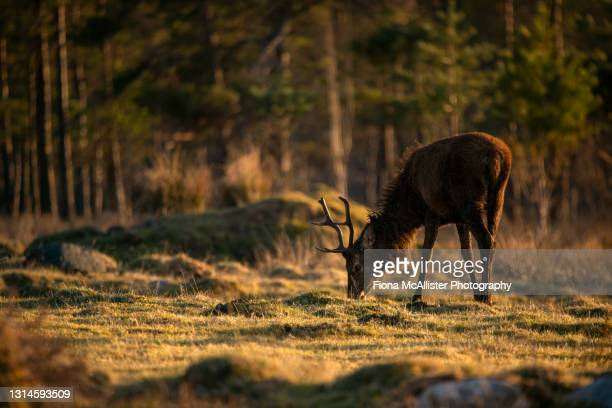 stag in the scottish highlands - moment of silence stock pictures, royalty-free photos & images