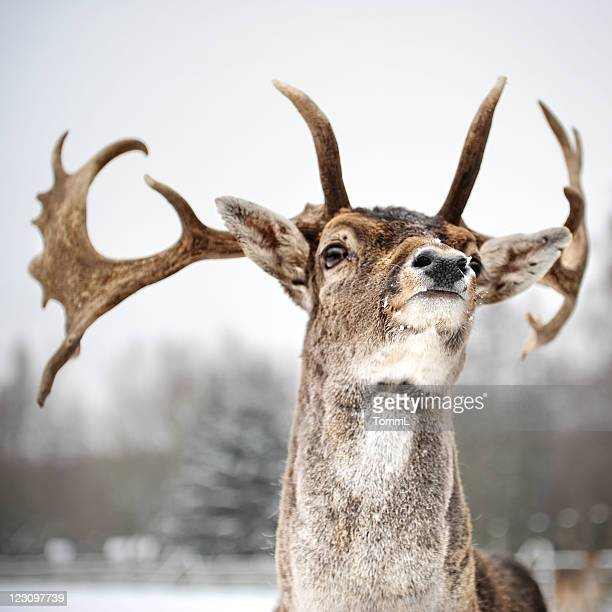 Stag in Winter