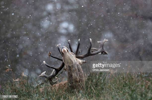 Stag is seen in the snow in Richmond Park on February 09, 2021 in London, England. A Met Office Weather Warning remains in place for many parts of...
