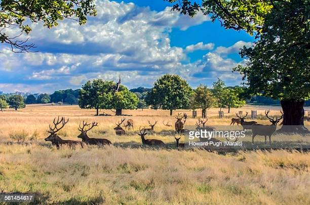stag lifestyle - howard pugh stock pictures, royalty-free photos & images