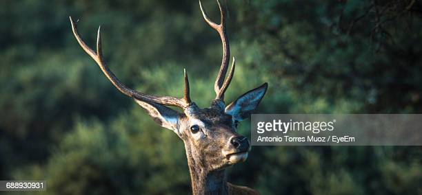 Stag Looking Away Against Trees