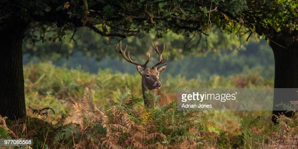 stag looking away, richmond park, london, england, uk - リッチモンド公園 ストックフォトと画像