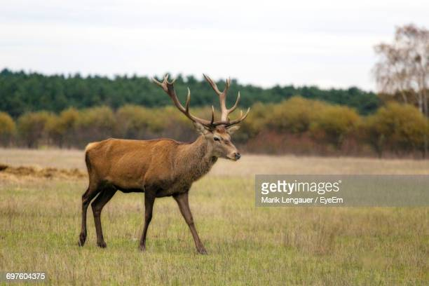 Stag On Grassy Field Against Sky