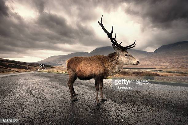 Stag on Highland road at Rannoch moor