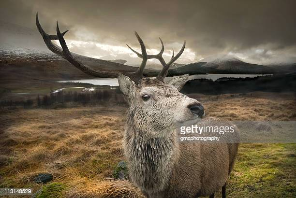 stag - deer stock pictures, royalty-free photos & images