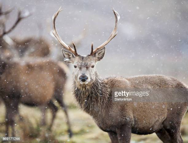 stag - mammal stock pictures, royalty-free photos & images