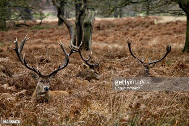 stag - springbok deer stock photos and pictures
