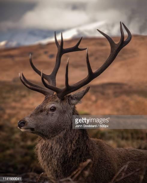 stag portrait - アカシカ ストックフォトと画像
