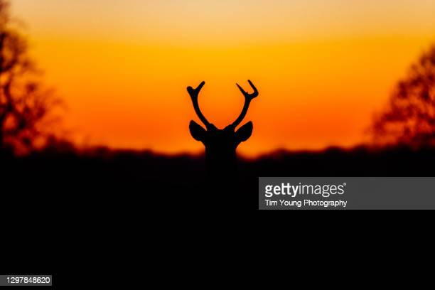 stag silhouette at sunset - wildlife stock pictures, royalty-free photos & images