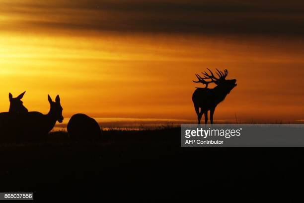 A stag silhouetted at sunset bellows near the village of Gorodilovichi some 300 kilometers north of Minsk on October 22 2017 / AFP PHOTO / Sergei...