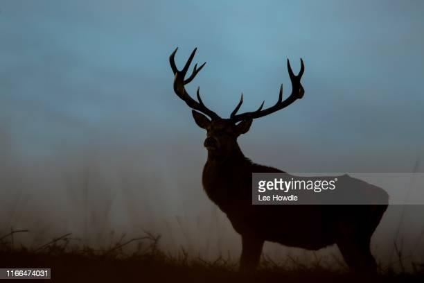 stag silouette - アカシカ ストックフォトと画像