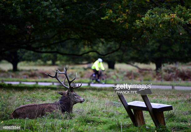 Stag sits by a park bench as a cyclist pedals through Richmond Park on October 23, 2015 in London. AFP PHOTO / FRANCK FIFE